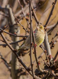Female Greenfinch Royalty Free Stock Images