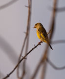 Female Greenfinch in the evening sun Stock Image