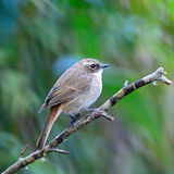 Female Grey Bushchat Stock Photos