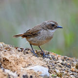 Female Grey Bushchat Royalty Free Stock Photos