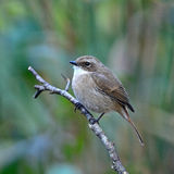 Female Grey Bushchat Royalty Free Stock Photography