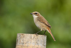 Female Grey Bushchat (Saxicola ferreaus) Royalty Free Stock Image