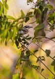 Female Grey-headed Batis feeding insects Stock Photos