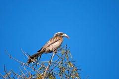 FEMALE GREY HORNBILL BIRD. Sitting in tree top Royalty Free Stock Images