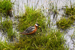 Female Grey Phalarope Stock Photography