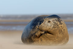 Female Grey Seal. At Donna Nook linconshire Royalty Free Stock Photos