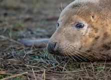 Female Grey Seal Stock Photo