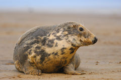 Female Grey Seal at Donna Nook. Lincolnshire Royalty Free Stock Photo