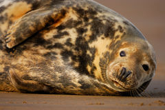 Female grey seal rests at Donna Nook. Female grey seal rests near her pup at Donna Nook Lincolnshire Stock Photography