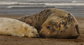 Female Seal with her Pup Stock Images