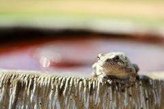 Female Grey Tree Frog Sitting on Bird Bath Stock Photos