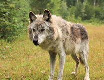 Female grey wolf. Old female grey wolf standing in the rain Royalty Free Stock Image