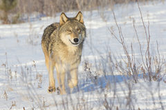 Female grey wolf. In snow Stock Image