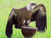 Griffon vulture on a stand stock photos