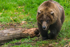 Female Grizzly Bear Near Chewed Up Log Stock Photos