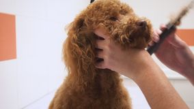Female groomer brushing brown poodle at grooming salon.