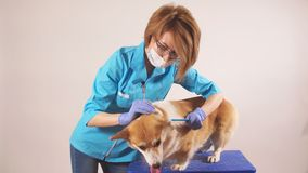 Female groomer cleaning the dog