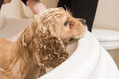 Female hands washing dog ears. Female groomer hands holding shower sprayer and washing dog ears Stock Photo
