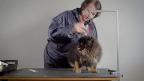Female groomer shearing small dog. Woman in gray jacket making hairstyle for dark fluffy pet with professional equipment stock video