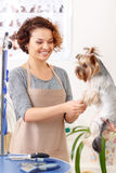 Female groomer starts to work on her pet client Stock Image