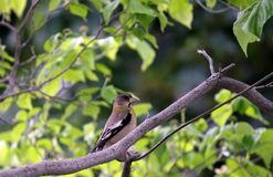 Female Grosbeak Royalty Free Stock Photography