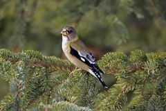 Female Grosbeak Royalty Free Stock Photos