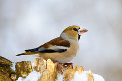 The female Grosbeak sitting on a branch in winter Royalty Free Stock Photo