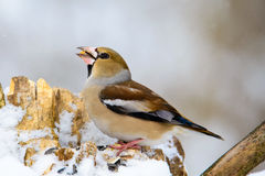 The female Grosbeak sitting on a branch in winter Stock Photography