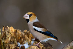 The female Grosbeak sitting on a branch in winter Stock Images