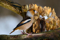 The female Grosbeak sitting on a branch in winter Stock Photos
