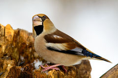 The female Grosbeak sitting on a branch in winter Royalty Free Stock Photography