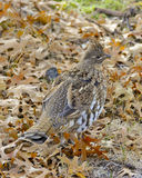 Female Grouse Royalty Free Stock Images