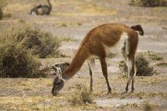 Female guanaco Stock Photo