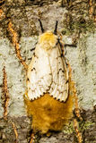 A female gypsy moth laying her eggs royalty free stock photos