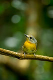 Female Hainan Blue Flycatcher Royalty Free Stock Photography