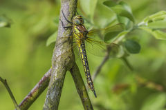 Female Hairy Dragonfly Royalty Free Stock Image