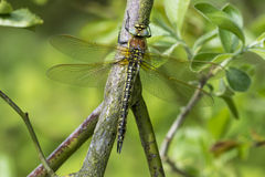 Female Hairy Hawker Dragonfly Stock Photos