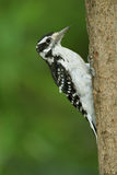 Female Hairy Woodpecker Royalty Free Stock Images