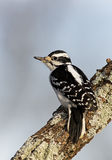 Female Hairy Woodpecker (Picoides villosus). Female Hairy Woodpecker perched on a tree branch under a blue sky stock photography