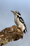 Female Hairy Woodpecker (Picoides villosus). Female Hairy Woodpecker perched on a tree branch under a blue sky with a closed nictitating membrane royalty free stock images