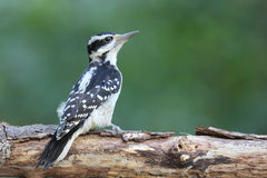 Female Hairy Woodpecker Stock Image