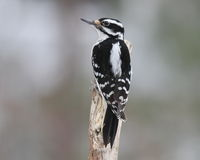 Female Hairy Woodpecker. A female hairy woodpecker (Picoides villosus) perching on a branch in winter Royalty Free Stock Image