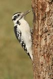 Female Hairy Woodpecker (Picoides villosus). On a tree with a green background royalty free stock images