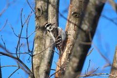 Female Hairy Woodpecker on a winter morning Stock Images