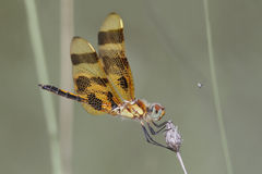 Female Halloween Pennant Stock Image