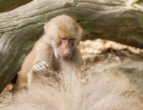 Female hamadryas baboon is looking for fleas Stock Photography