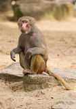 Female hamadryas baboon portrait Royalty Free Stock Photos