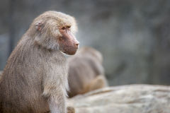 A female hamadryas baboon portrait. A female hamadryas baboon looking off into the distance Royalty Free Stock Images