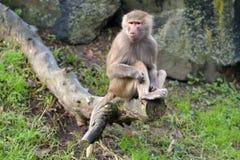 Female Hamadryas baboon sits on a tree log stock photos