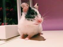 Female hamster stock photography